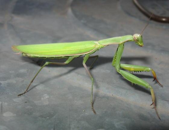Mantis religiosa 01b - Mantis religiosa