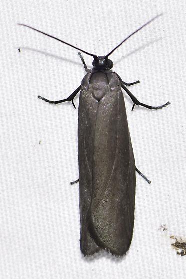 Urodus parvula - Bumelia Webworm Moth - Urodus parvula