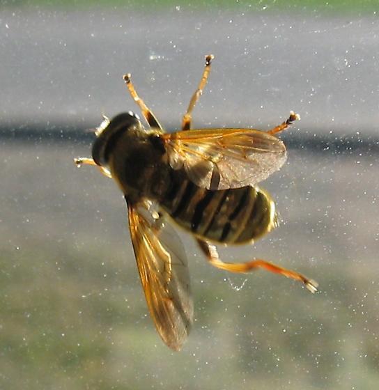 Syrphidae 8-05-11 01b - Hadromyia crawfordi