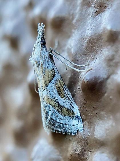 Decaturia pectinalis - female
