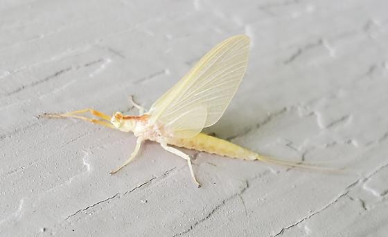 Mayfly - Anthopotamus