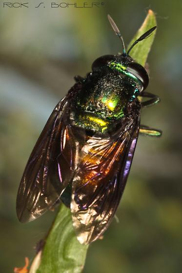 large metallic fly - Microdon fulgens