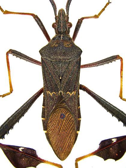Male, Leptoglossus zonatus? - Leptoglossus zonatus - male