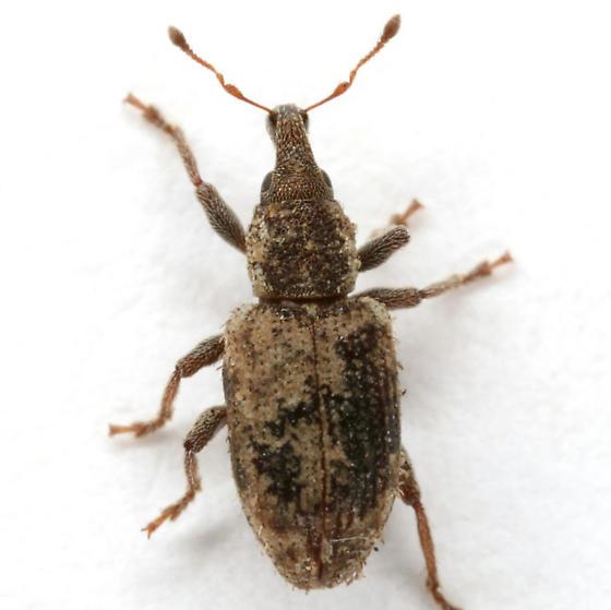 Listronotus
