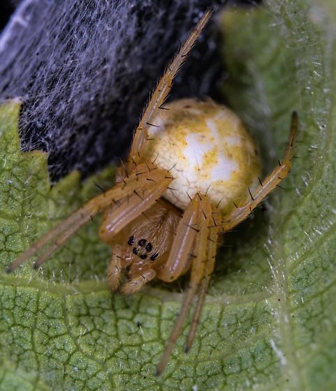 Leaf spider - Araniella displicata
