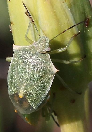 Stink bug, green, pointed tops - Thyanta custator