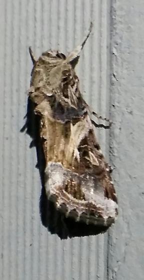 Fall Armyworm? - Spodoptera ornithogalli
