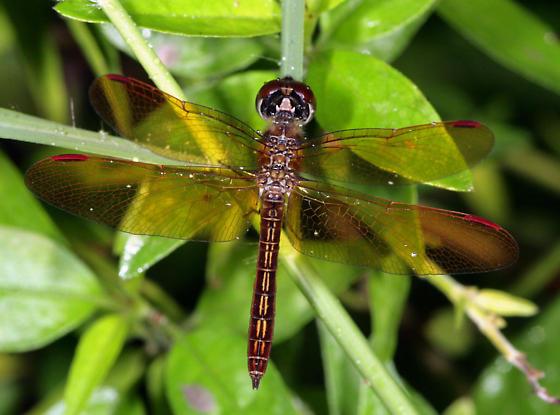 Slough Amberwing - Perithemis domitia - male