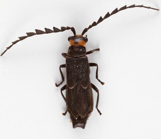 Soldier Beetle - Tytthonyx erythrocephala