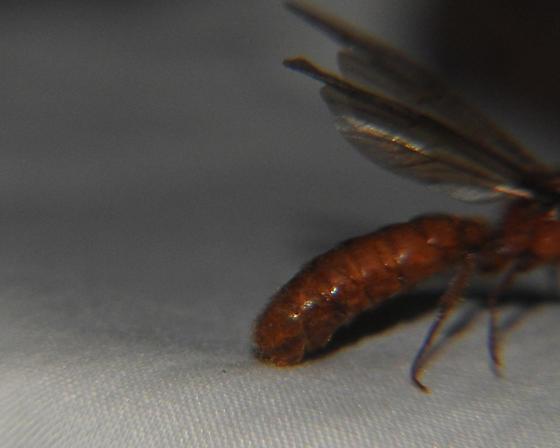 Hymenoptera - Labidus coecus