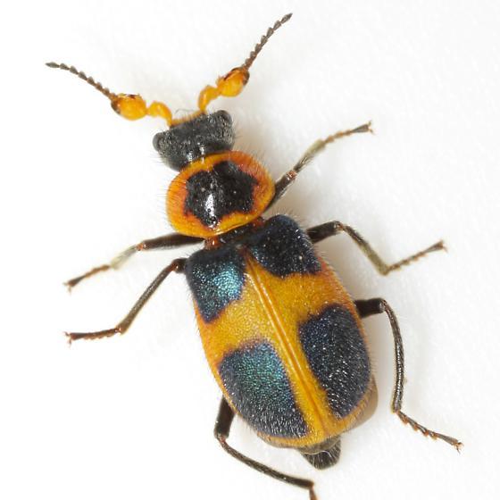 Collops balteatus LeConte - Collops balteatus - male