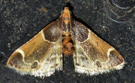 moth050217 - Pyralis farinalis