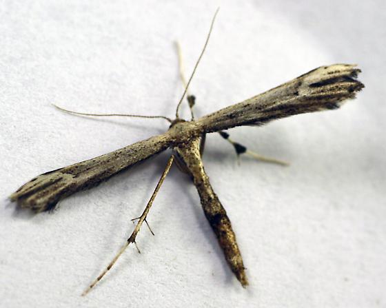 6168 Eupatorium Plume Moth adult and larva - Oidaematophorus eupatorii