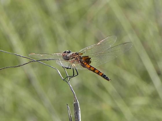 dragonfly ID help needed - Macrodiplax balteata - female