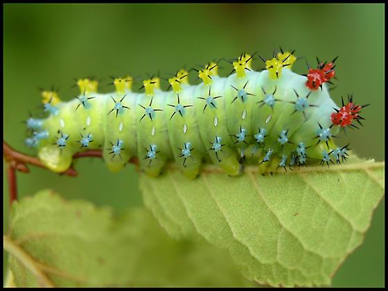 Cecropia Moth Caterpillar  - Hyalophora cecropia