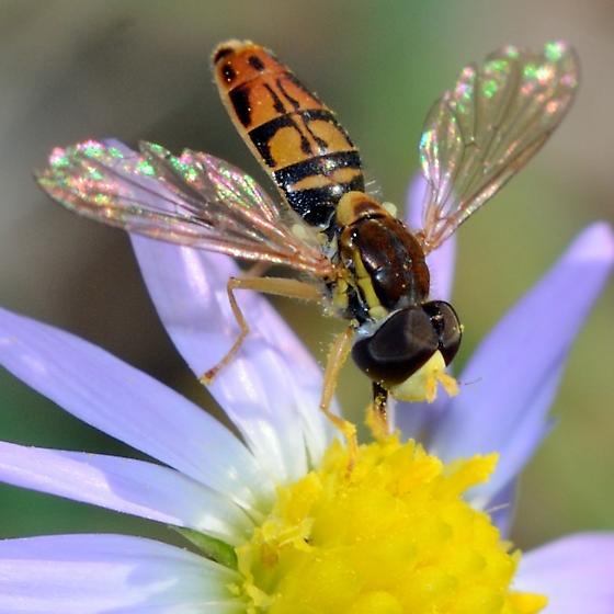 Syrphid? - Toxomerus marginatus