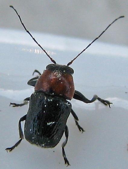 ID for Casebearer in California? - Pachybrachis hybridus