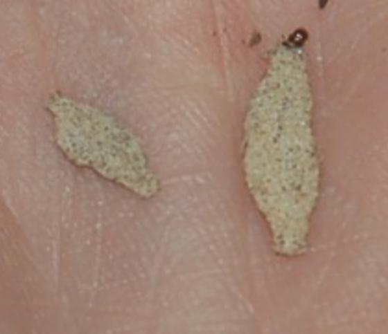 St. Andrews case maker on wall SA1126 2017 1 - Phereoeca uterella