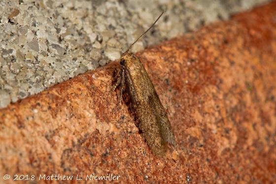 Moth - Pigritia
