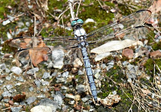 Dragonfly identification please - Libellula vibrans