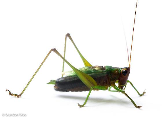 Conocephalus nigropleurum - male
