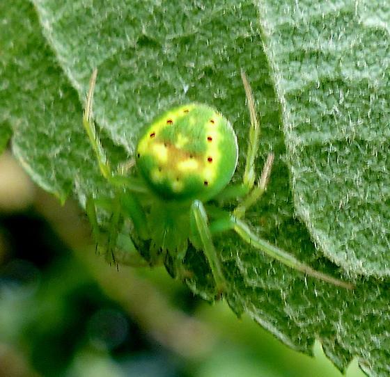 What spider please . .  - Araneus cingulatus