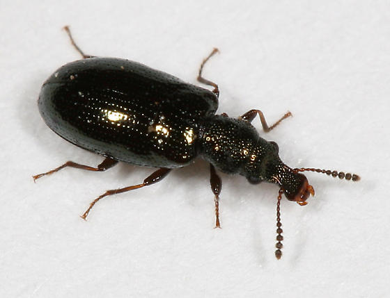 Narrow-waisted Bark Beetle - Rhinosimus viridiaeneus