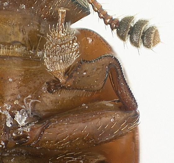 Coleopterus posticus (Erichson) - Colopterus posticus
