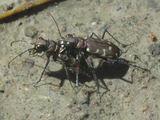 Cicindela duodecimguttata - male - female