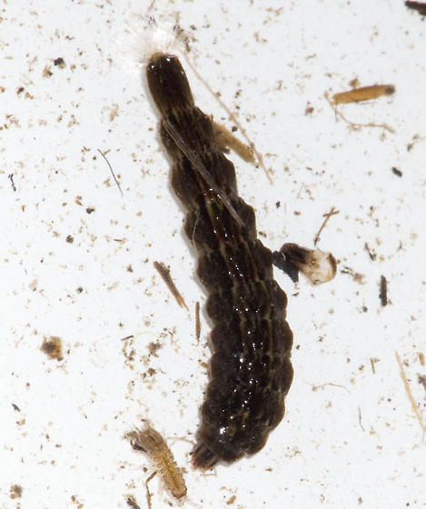 Stratiomyid Larva - Odontomyia