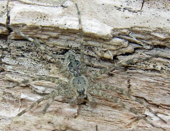 Hogna carolinensis? - Dolomedes tenebrosus - male