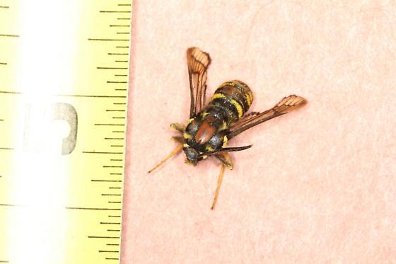 Unknown Sesiidae - Sesia spartani