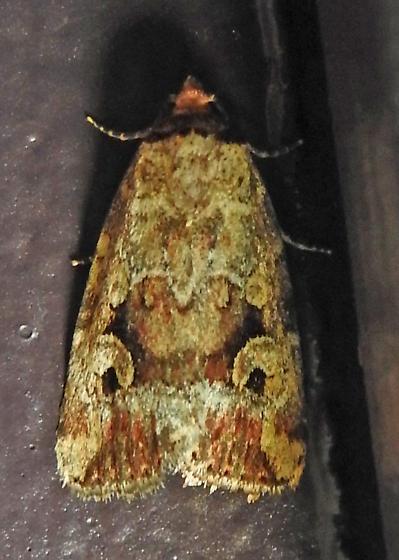 9681.1 – Elaphria alapallida - Elaphria alapallida
