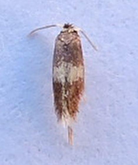 Nepticula macrocarpae - Stigmella nigriverticella