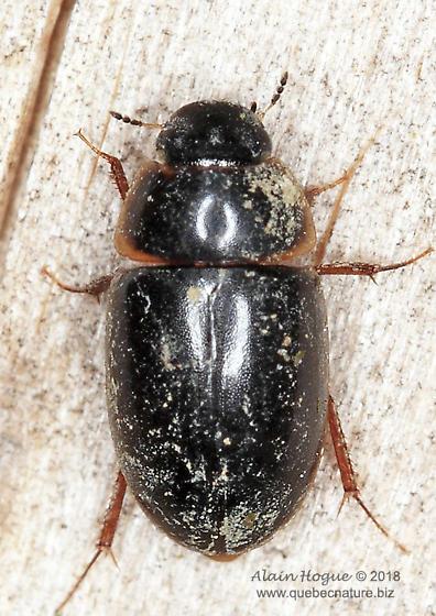 Coleoptera - Enochrus
