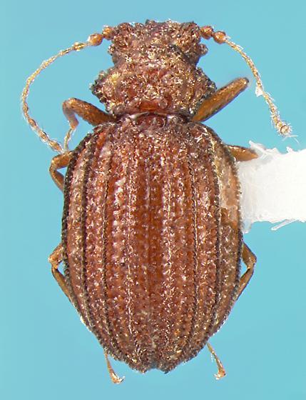 Staphylinid - Dasycerus carolinensis