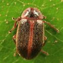 hairy little beetle - Sarabandus robustus