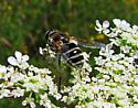 Black & White Bee-Wasp - Eristalis