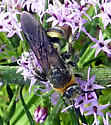 Wasp or bee? - Dielis plumipes