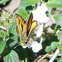 Firery? - Hylephila phyleus