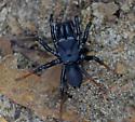 Atlantic Purseweb Spider - Sphodros atlanticus - male