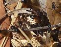 Ants at Coyote Hills - Camponotus vicinus