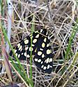 Moth  - Arctia virginalis