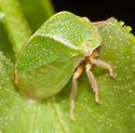 Ceresa sp.? - Spissistilus festinus