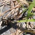Dragonfly - Aeshna umbrosa - female