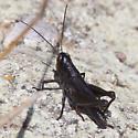 black grasshopper - Boopedon nubilum - male