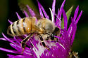 who might this little bee be? - Apis mellifera
