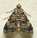 Jack o lantern moth - Elophila obliteralis