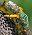 green metallic bee - Agapostemon