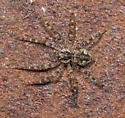 baby fishing spider?? - Dolomedes